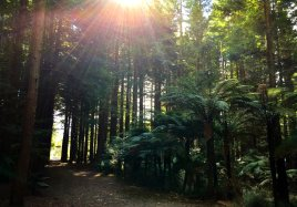 Redwoods & black tree ferns create a surreal feeling of having gone back in time.