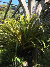Tank asteliad or kahakaha is also called the tank lily or perching lily.