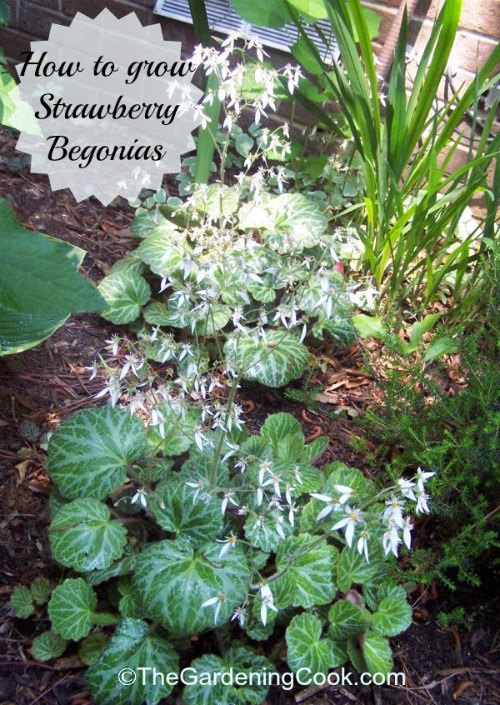 Strawberry Begonia Great As A House Plant Or A Ground Cover
