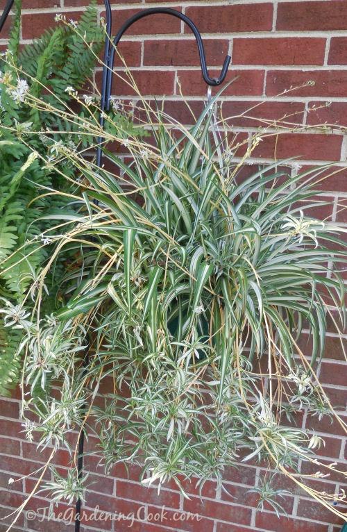 propagate spider plants