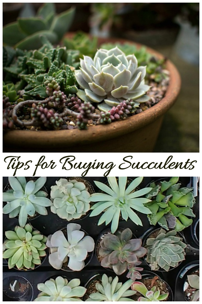 Tips For Buying Succulents Where To Find Succulents For Sale