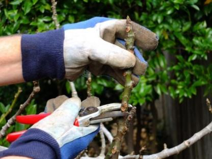 How to Prune Fig Trees after winter