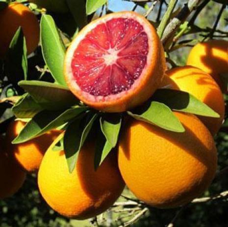 blood orange tree - how to grow orange trees in pots