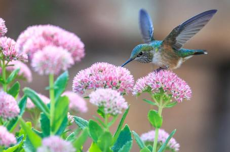 hummingbird feeding on flower - how to attract hummingbirds