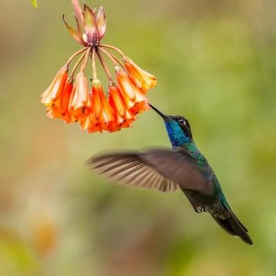 hummingbird - how to attract hummingbirds
