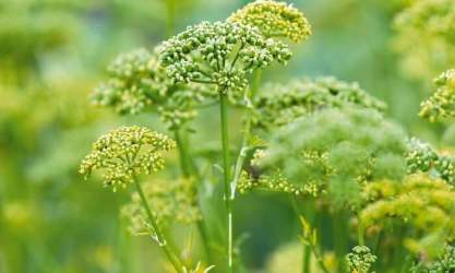 bolted parsley