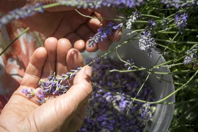 harvest lavender