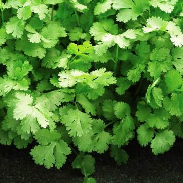 santo cilantro - how to grow cilantro from seed