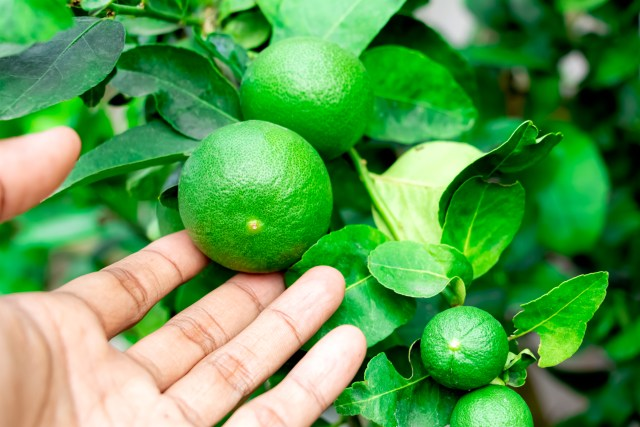 caring for limes
