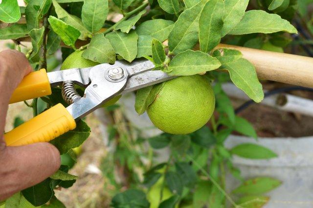 harvesting limes