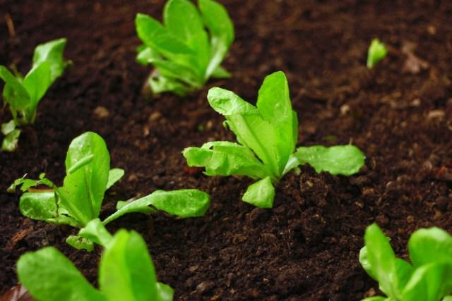 growing lettuce 1
