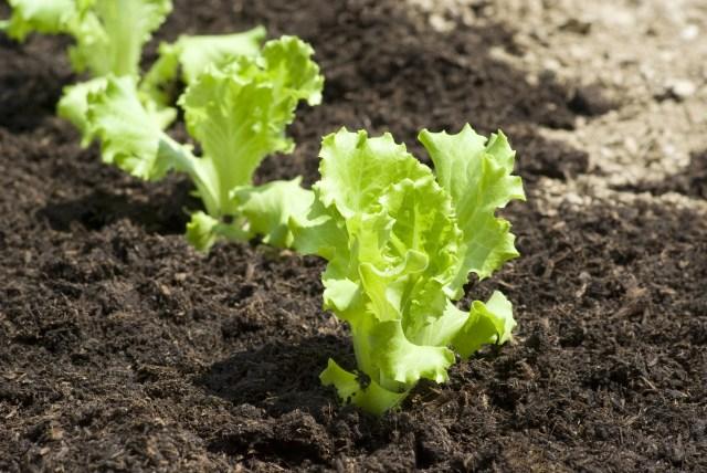 growing lettuce 2