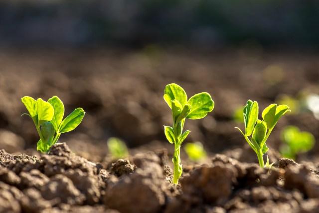 growing peas outside