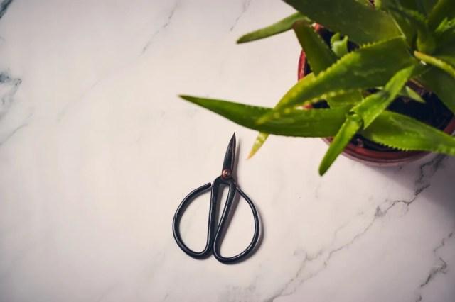 Pruning Aloe Vera