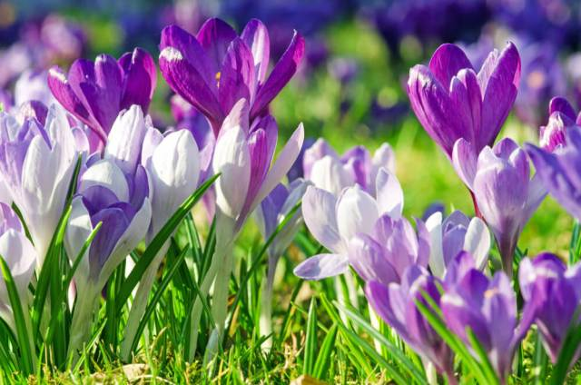 how to grow crocus for beginners