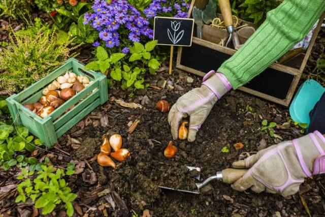 Planting Iris Bulbs