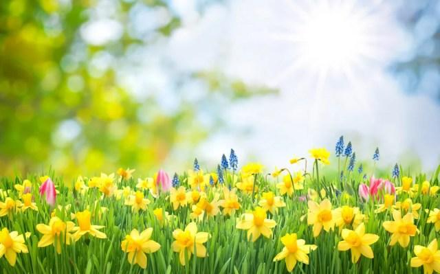 daffodil uses