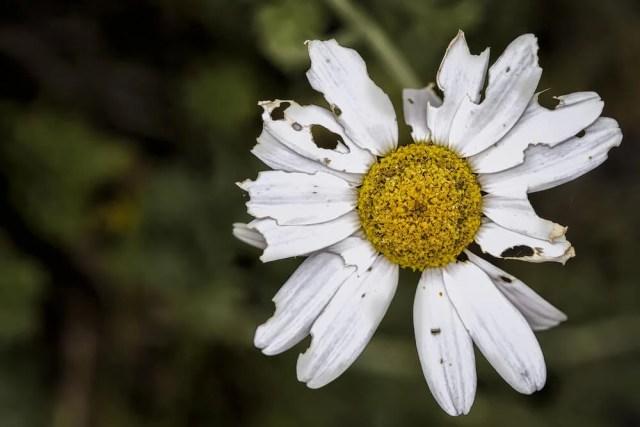 daisy diseases