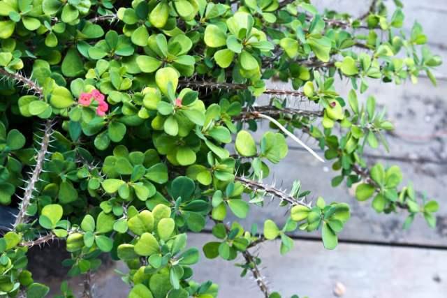 flowering crown of thorns