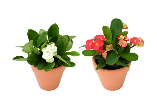 how to grow crown of thorns outside