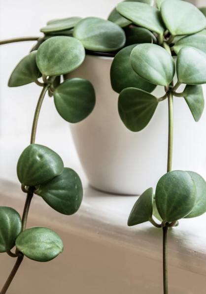 jade plant uses