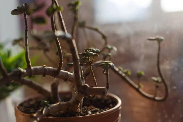 Jade Plant Harvest