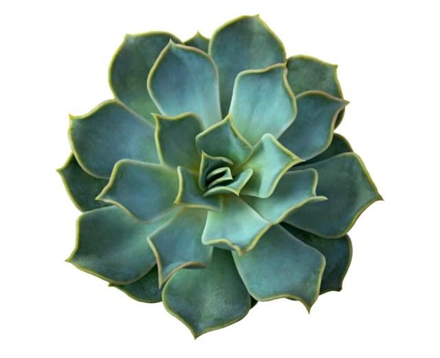 succulent flowering