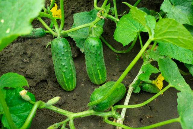 cucumbers growing