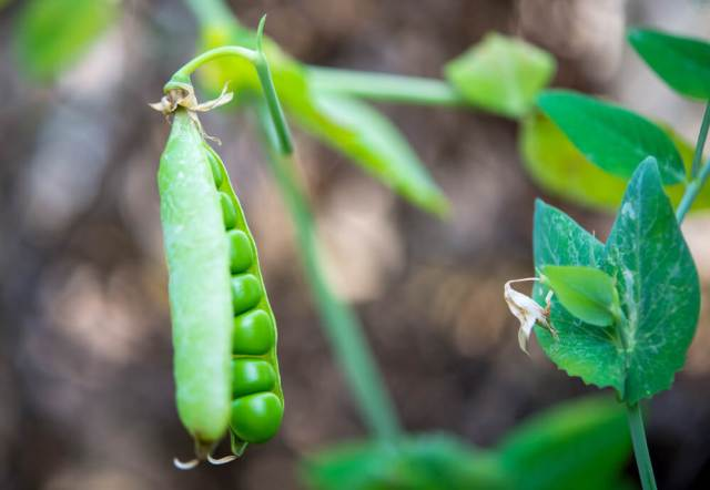 peas growing in ohio