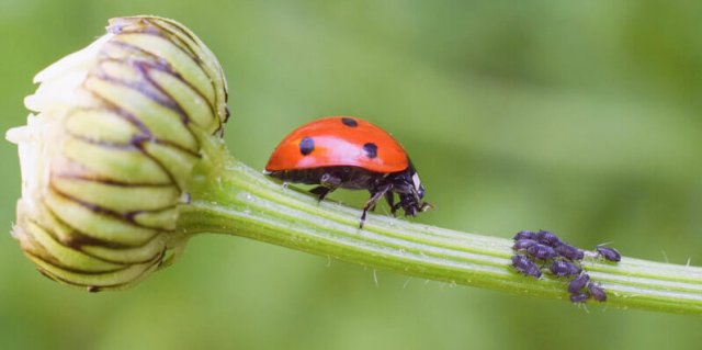 lady bug eating aphids