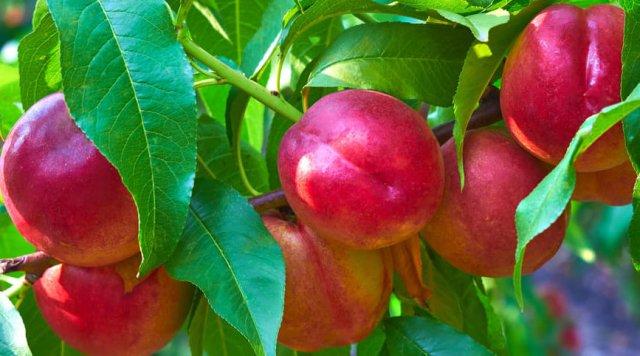 nectarine pruning