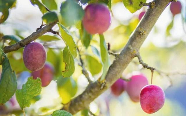 plum care