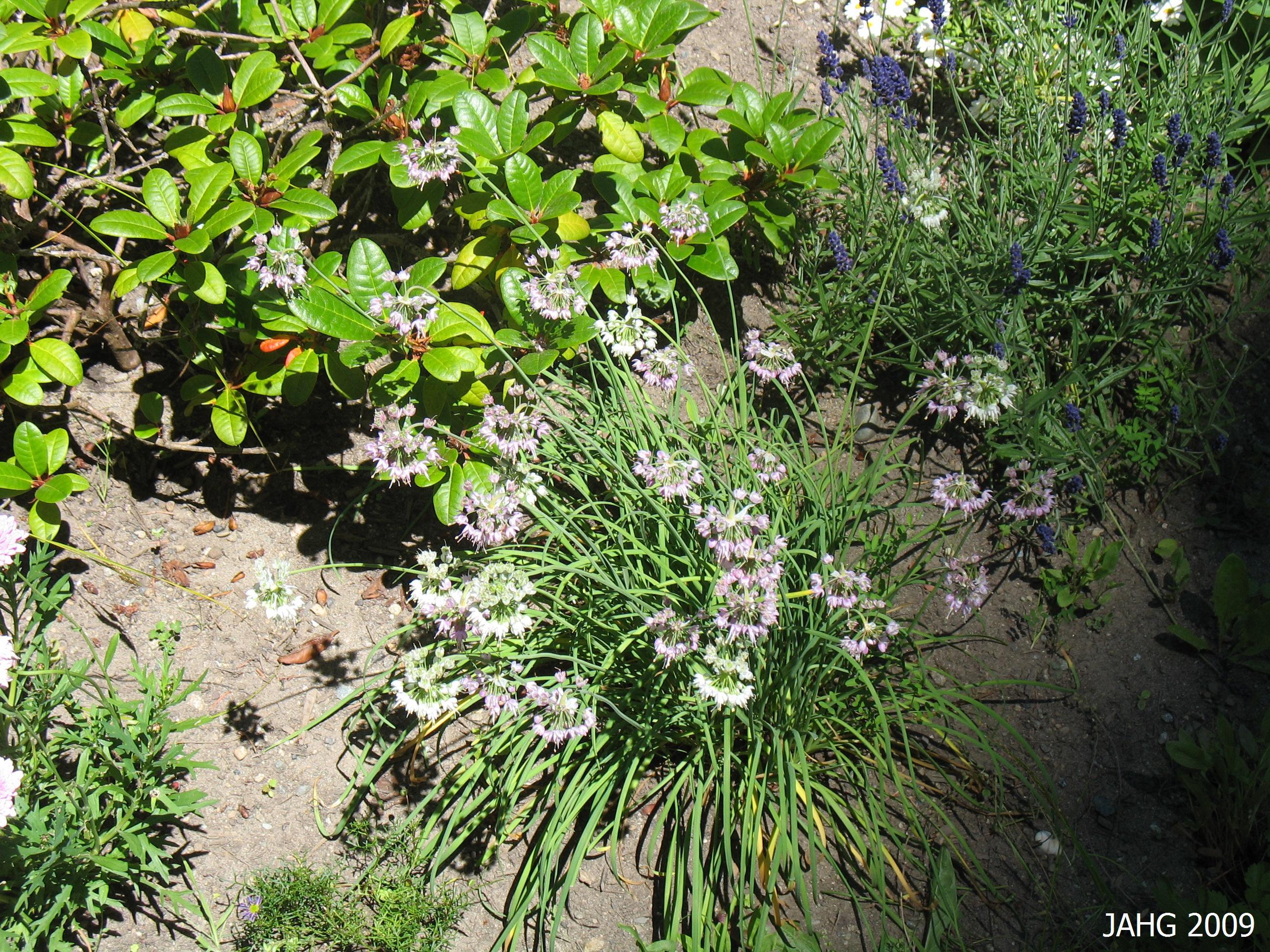 Allium cernuum(Nodding Onion) in my garden.