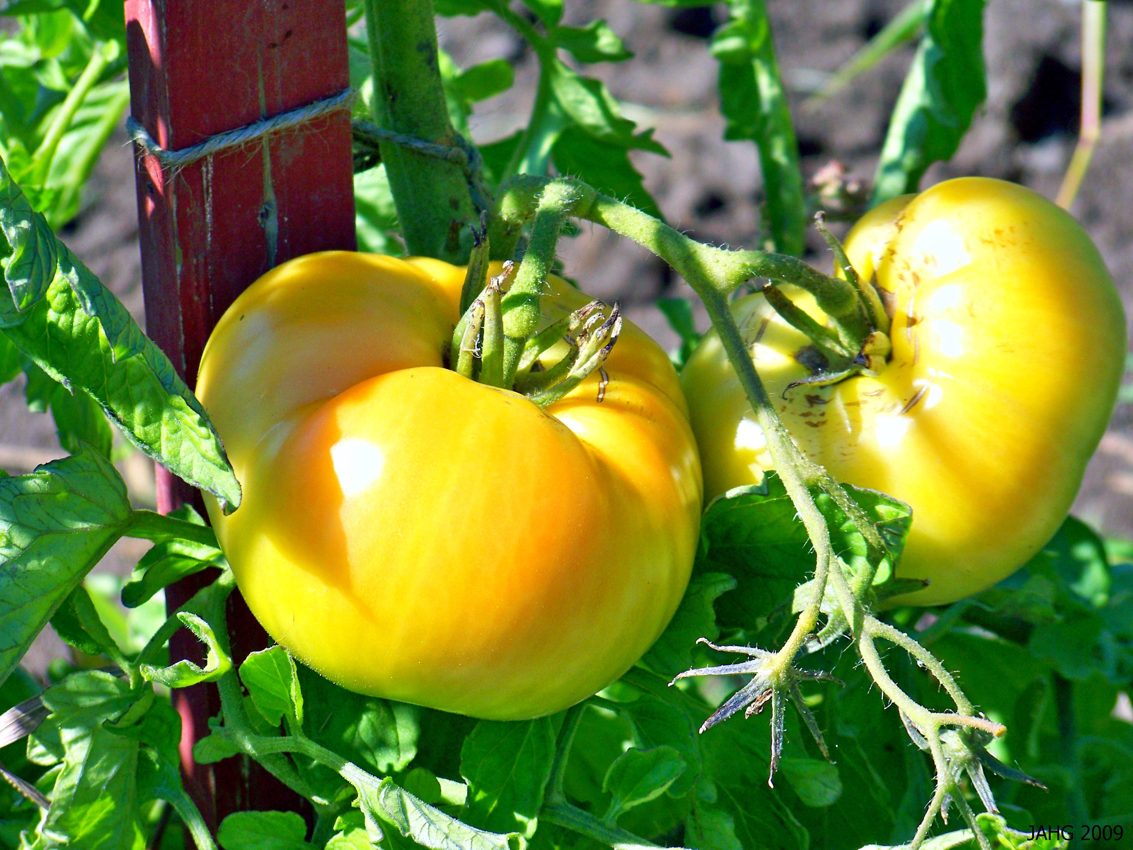 The big 'Beefsteak' Tomatoes are a favorite for Hambugers and sandwiches everywhere!