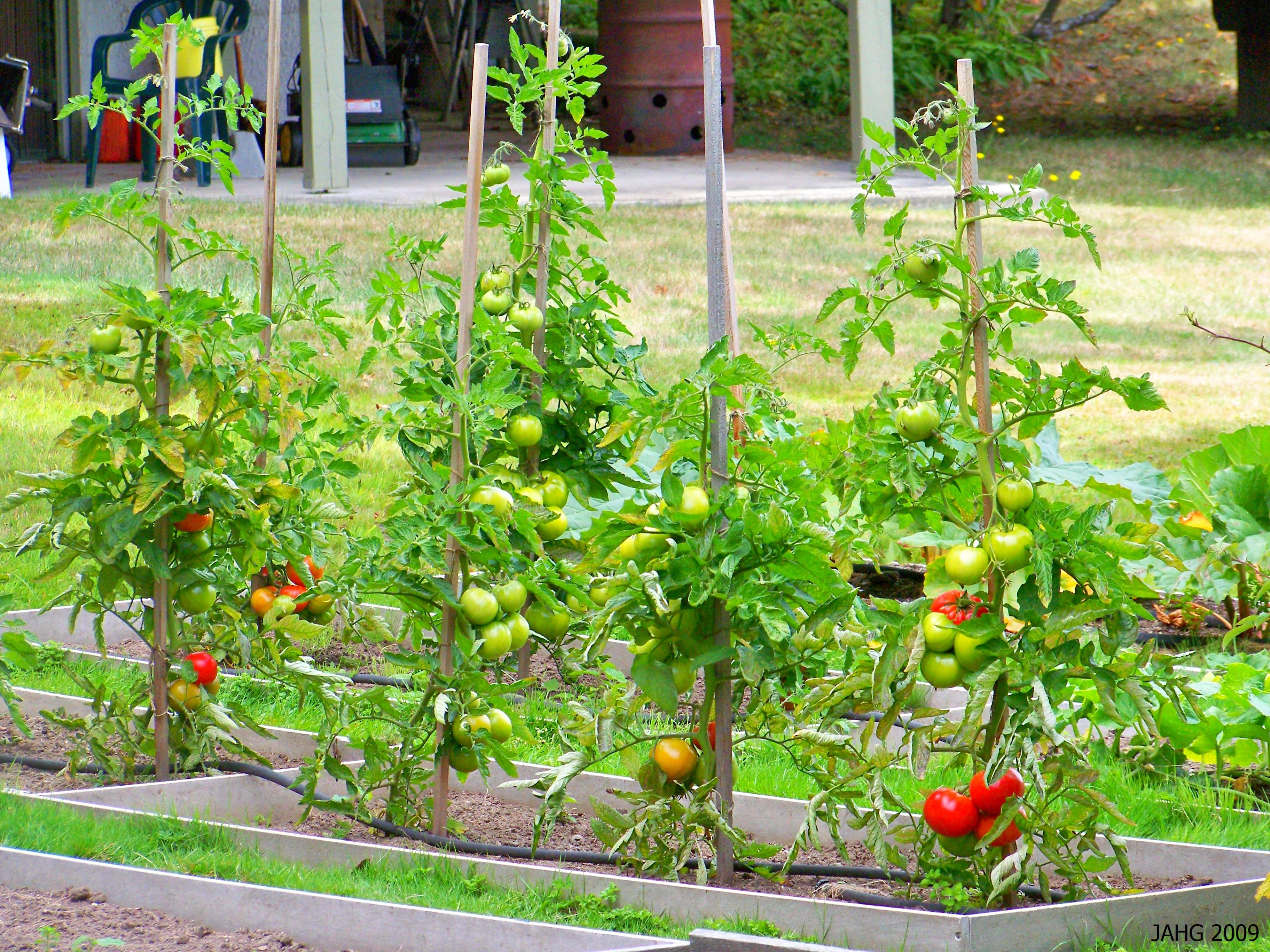 A family plot of Tomatoes.