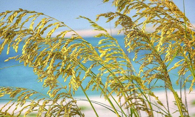 County Begins Sea Oats Project, Reduces Road Litter