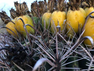 Dehydrating Barrel Cactus Fruit