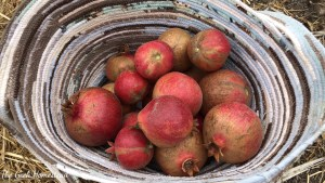 Pomegranate Harvest