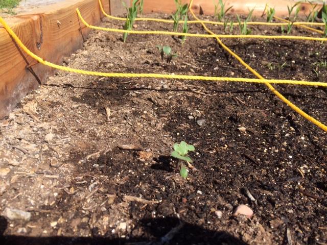 Cauliflower and corn seedlings