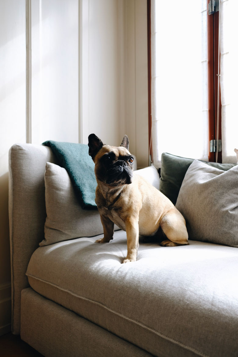 Ikea sofa with bemz cover and a french bulldog on it