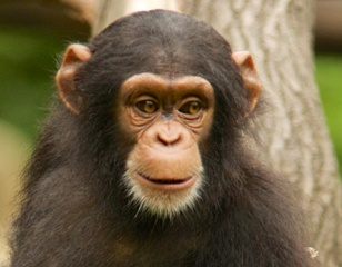 Chimpanzee (Chi King) - H.G. Wells - The Island of Dr. Moreau - evolution, humanity, animals, discovery