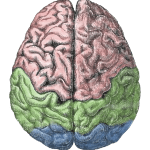 Human Brain - paradox of fiction - Colin Radford