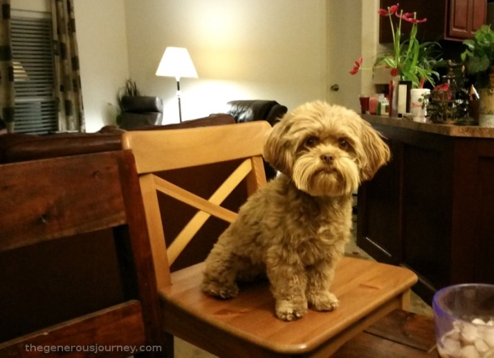 Chewie on a stool © Paul H. Byerly