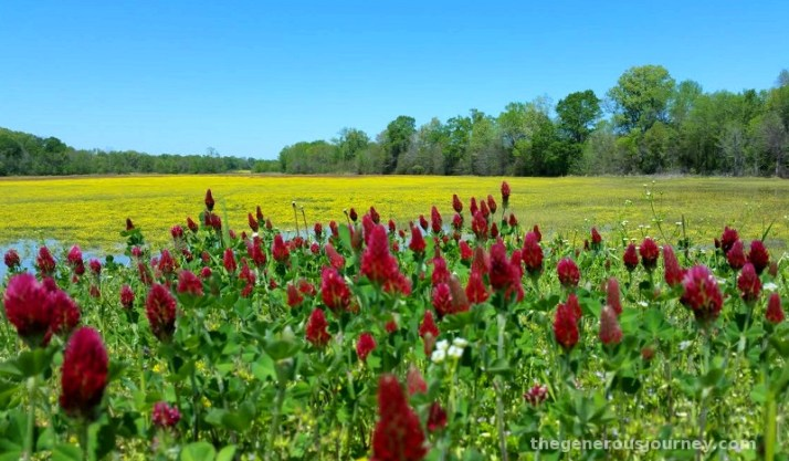 Red clover © Paul H. Byerly