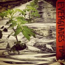 TEENA'S PRIDE FARM, HOMESTEAD, FL - 3 weeks ago - Doesn't surprise me that the #florida #evergladestomato is being grown @borekfarms (via Farm to Kitchen's Instagram)