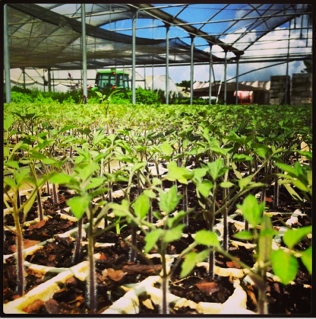 TEENA'S PRIDE FARM, HOMESTEAD, FL - 3 weeks ago - #gearingup #greenhouse for #heirloom #tomato growing season. Things are looking good (via Farm to Kitchen's Instagram)