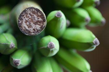 Corona Farm, Thai Banana