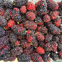 Mulberries at TCR