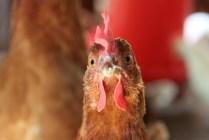 Chicken at Donna's Healthier Choice Eggs Farm.