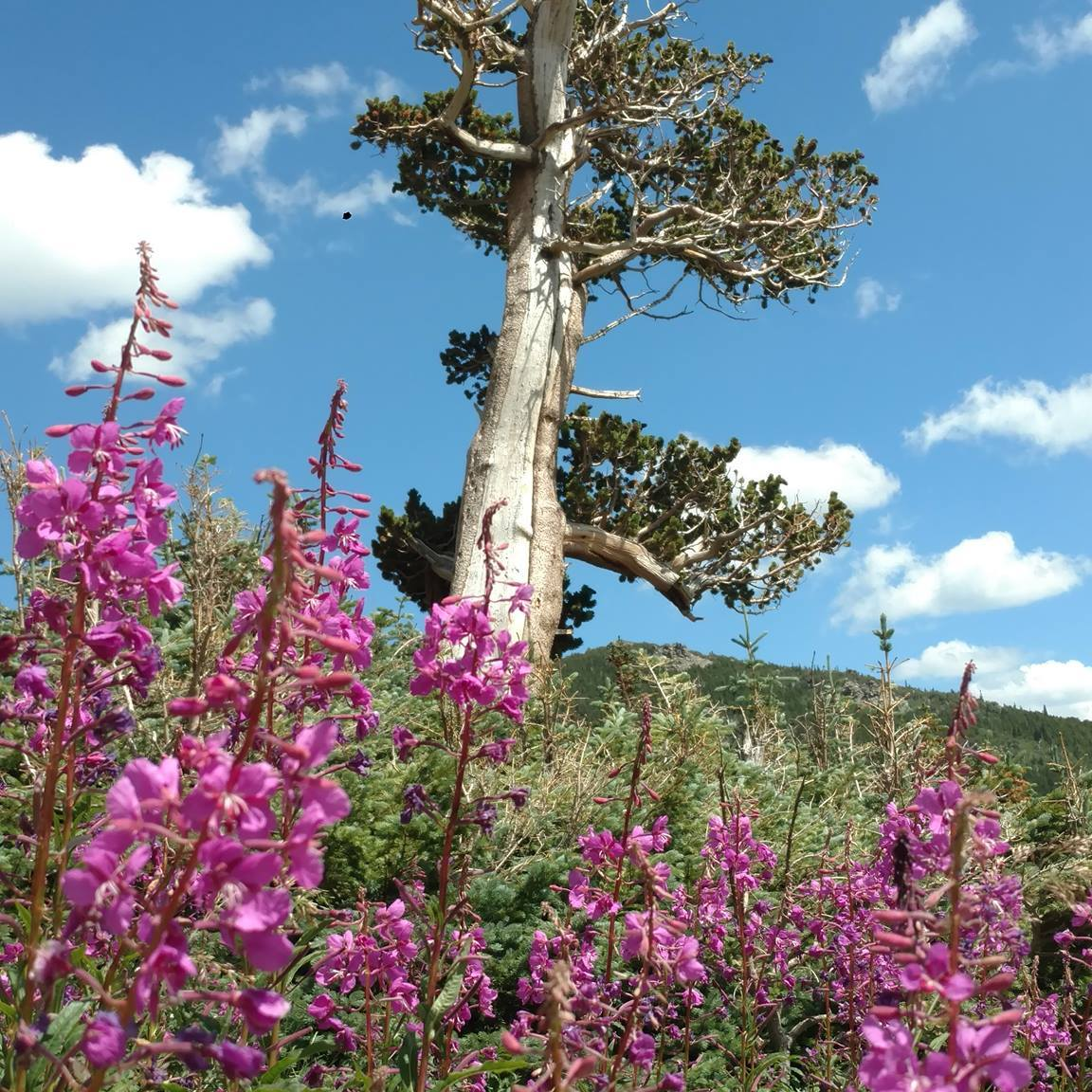 Tree and wildflowers near Saint Mary's Glacier